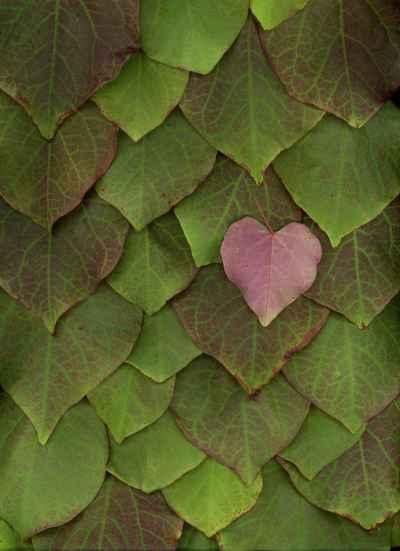 redbud-leaf-wall