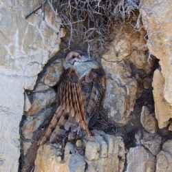barn-owl-road-kill
