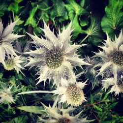 sea-holly-blooms